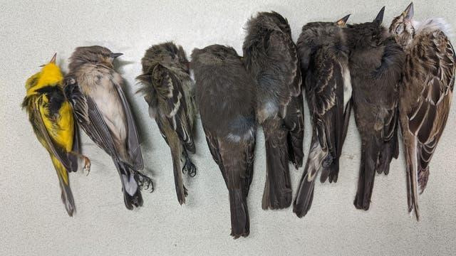 Hunderttausende tote Zugvögel in New Mexico und dem Südwesten der USA