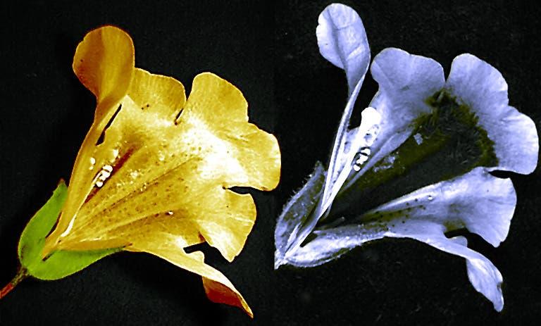Gauklerblume in sichtbarem und UV-Licht