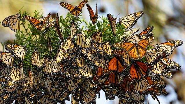 Monarchfalter im Winterquartier