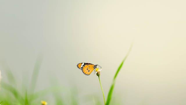 Ein einzelner Monarchfalter sitzt an einem Grashalm