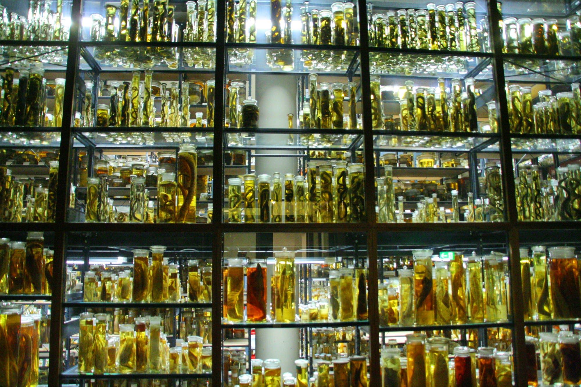 In Museen lagern Millionen Exemplare von Tieren – wie hier in Konservierungsflüssigkeit aufbewahrte Reptilien – und Pflanzen: biologische Archive, die Forscher nutzen, um neue Arten zu beschreiben oder ökologische Veränderungen nachzuverfolgen.