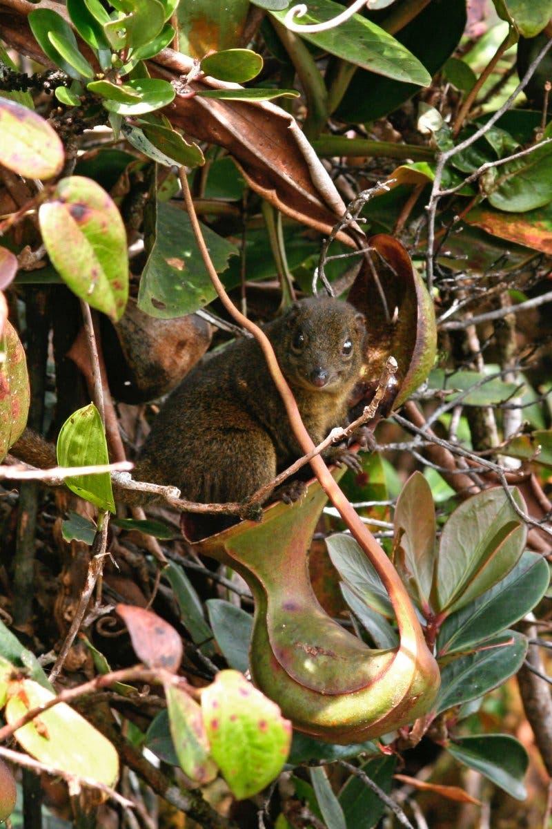 kloförmige Kannenpflanze lockt Säugetiere an, um deren Kot zu erhaschen