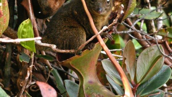 Spitzhörnchen auf Kannenpflanze