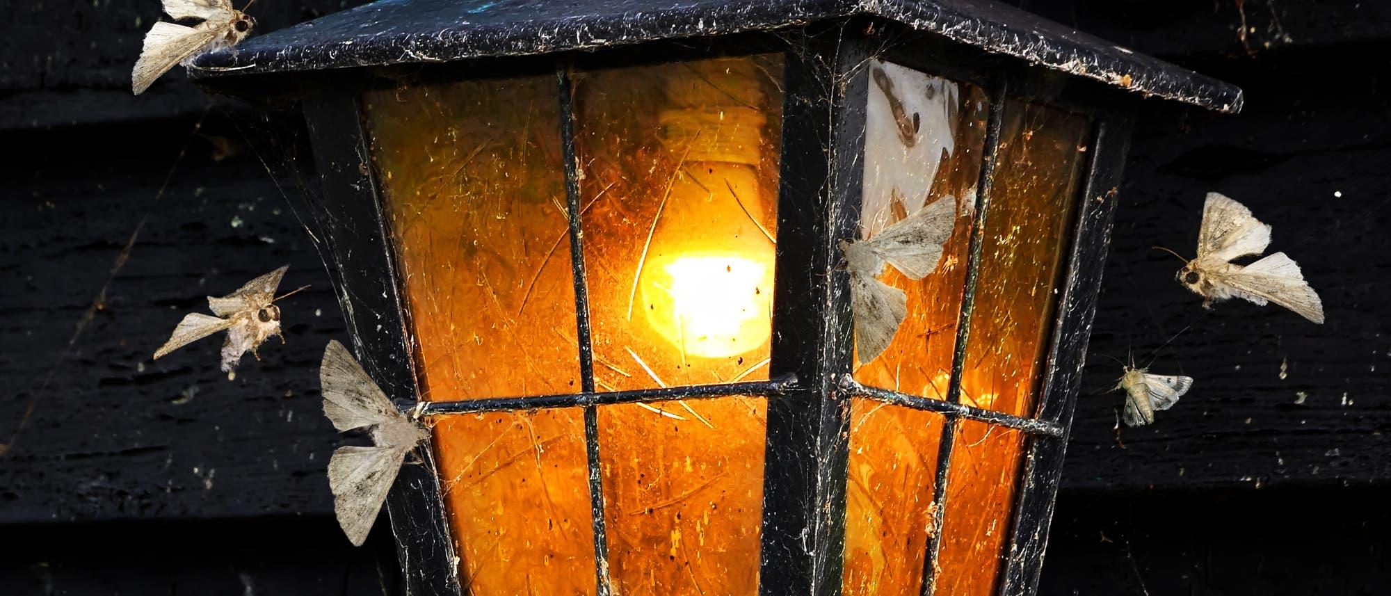 Wie Motten um das Licht umkreisen Nachtfalter diese Laterne