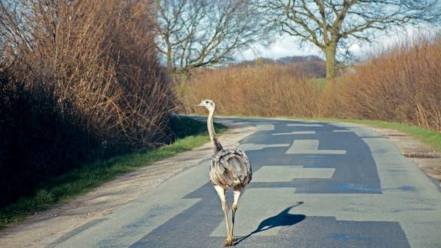 Ein Nandu überquert eine Straße in Mecklenburg.