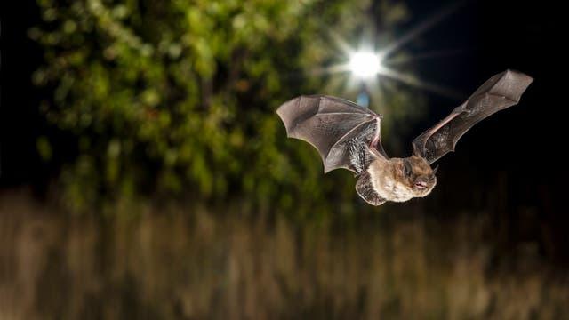 Die Rauhautfledermaus stört sich kaum an Laternenlicht