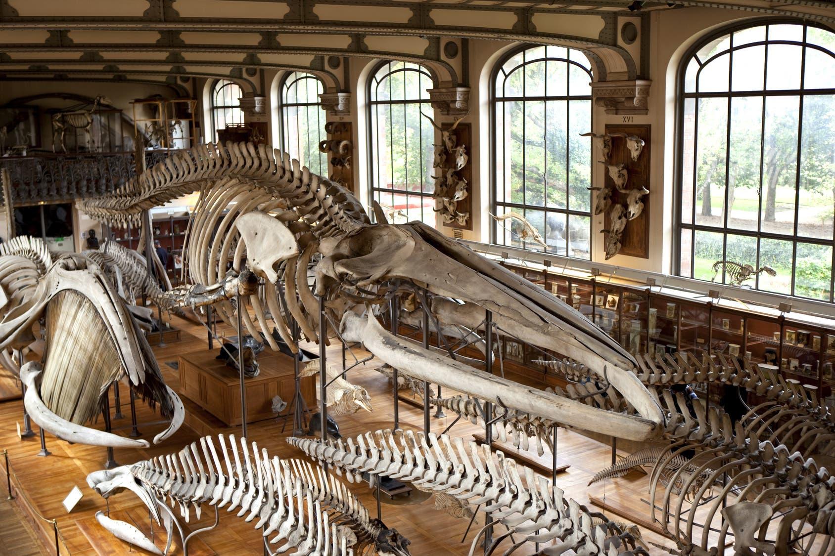 In großen Museen lagern oft mehrere Millionen Tier- und Pflanzenpräparate, die die Vielfalt des Lebens dokumentieren wie diese Walskelette im Naturhistorischen Museum von Paris.