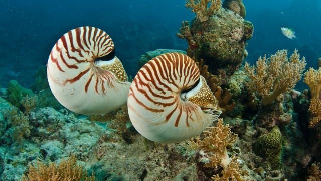 Auch Perlboote geheören zu den lebenden Fossilien.