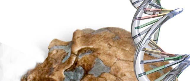 Schädel eines Neandertalers