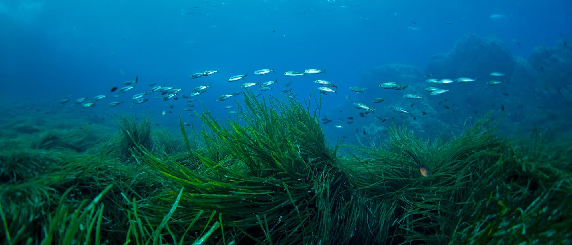 Neptungras und Fische