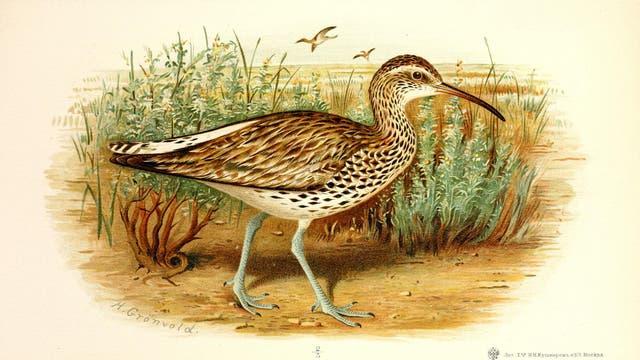 Dünnschnabel-Brachvogel