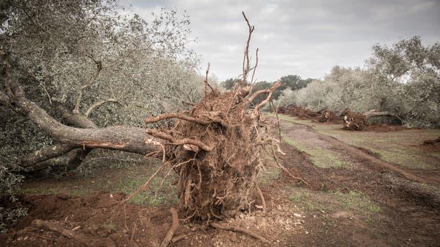 Sterbender Ölbaum wurde mit Stumpf und Stiel gerodet, um Ausbreitung einer Krankheit zu stoppen.