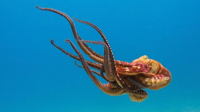 Vorbild für die Roboter der Zukunft: Kraken