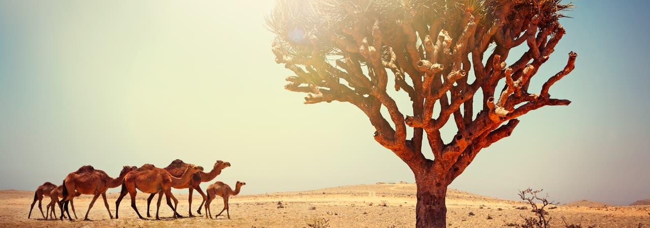 Dromedare im Oman