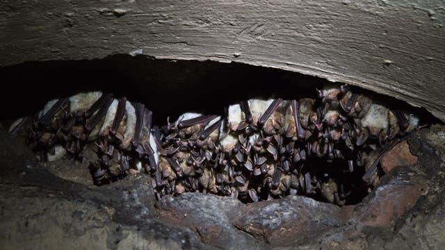 Große Mausohren drängen sich in einer Spalte in der Wand der Bunker