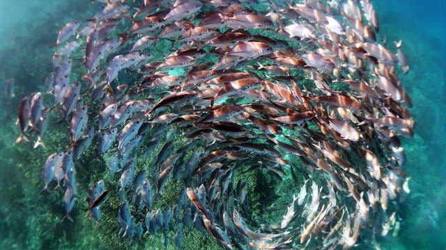 Ein Schwarm in Spiralformation am Great Barrier Reef