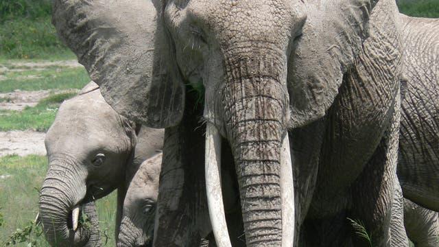 Schnüffelnde Elefantendame