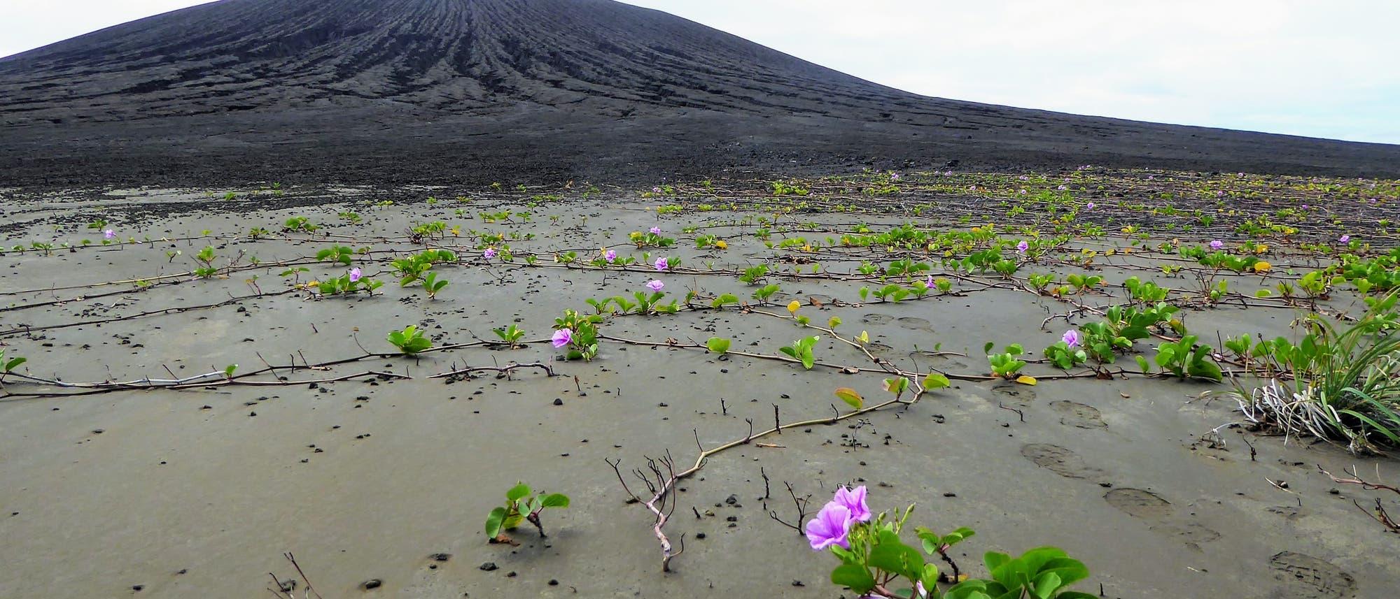 Pflanzen auf Hunga Tonga-Hunga Ha'apai