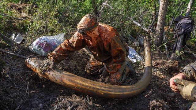 Ein Mammutstoßzahn wie dieser kann über 30 000 US-Dollar einbringen