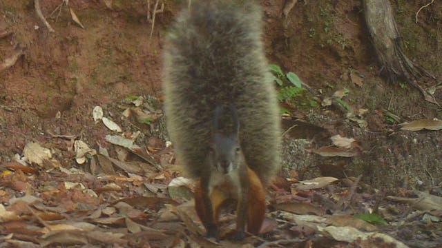 Das Borneo-Hörnchen (Rheithrosciurus macrotis)