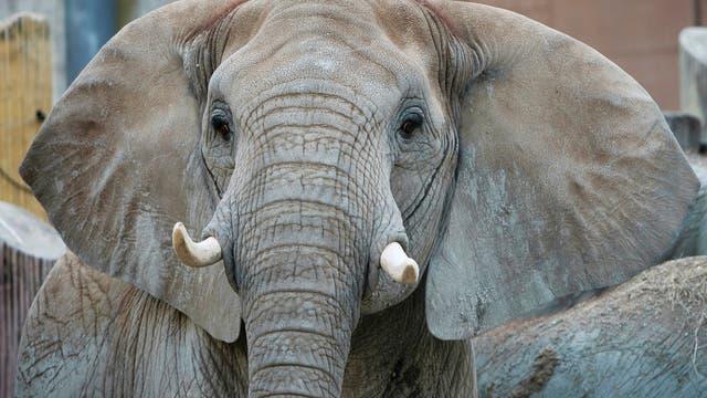 Elefantendame Tonga
