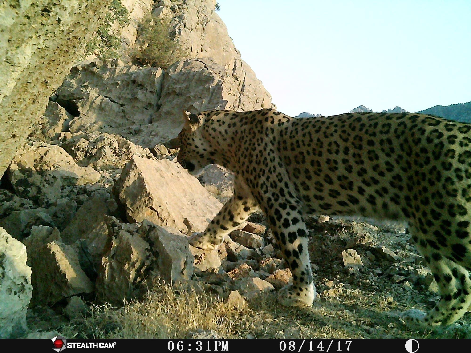 Leopardensichtung