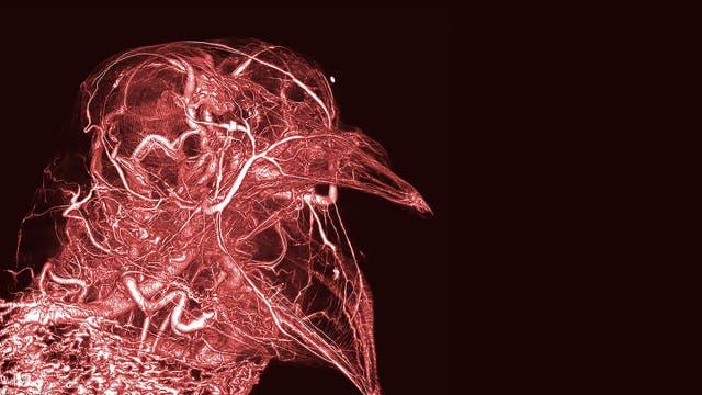 Blutgefäße einer Taube