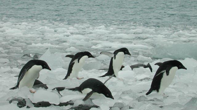 Pinguine hüpfen ins Wasser