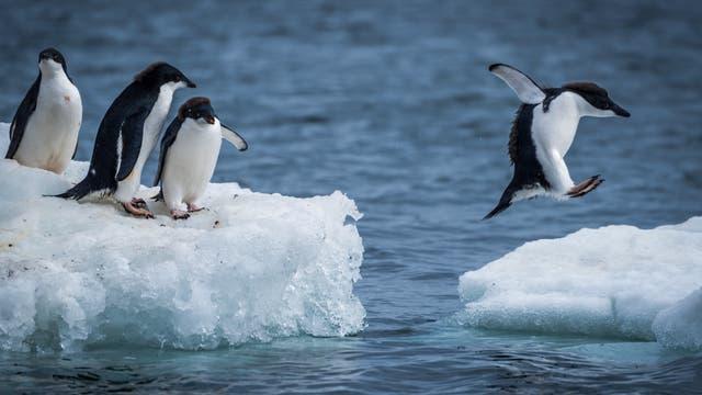 Adeliepinguine springen auf eine Eisscholle in der Antarktis