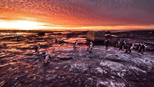 Pinguine im Abendrot