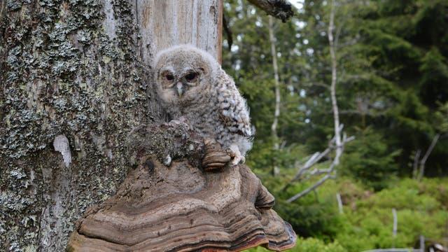 Ein wachsamer Waldkauz sitzt auf einem Baumpilz und beobachtet das Treiben im Nationalpark.