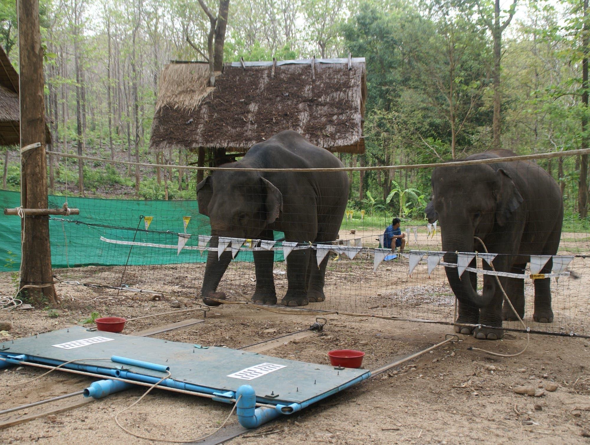 Kooperierende Elefanten