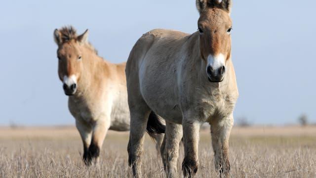 Przewalskipferde sollen die Heide offen halten