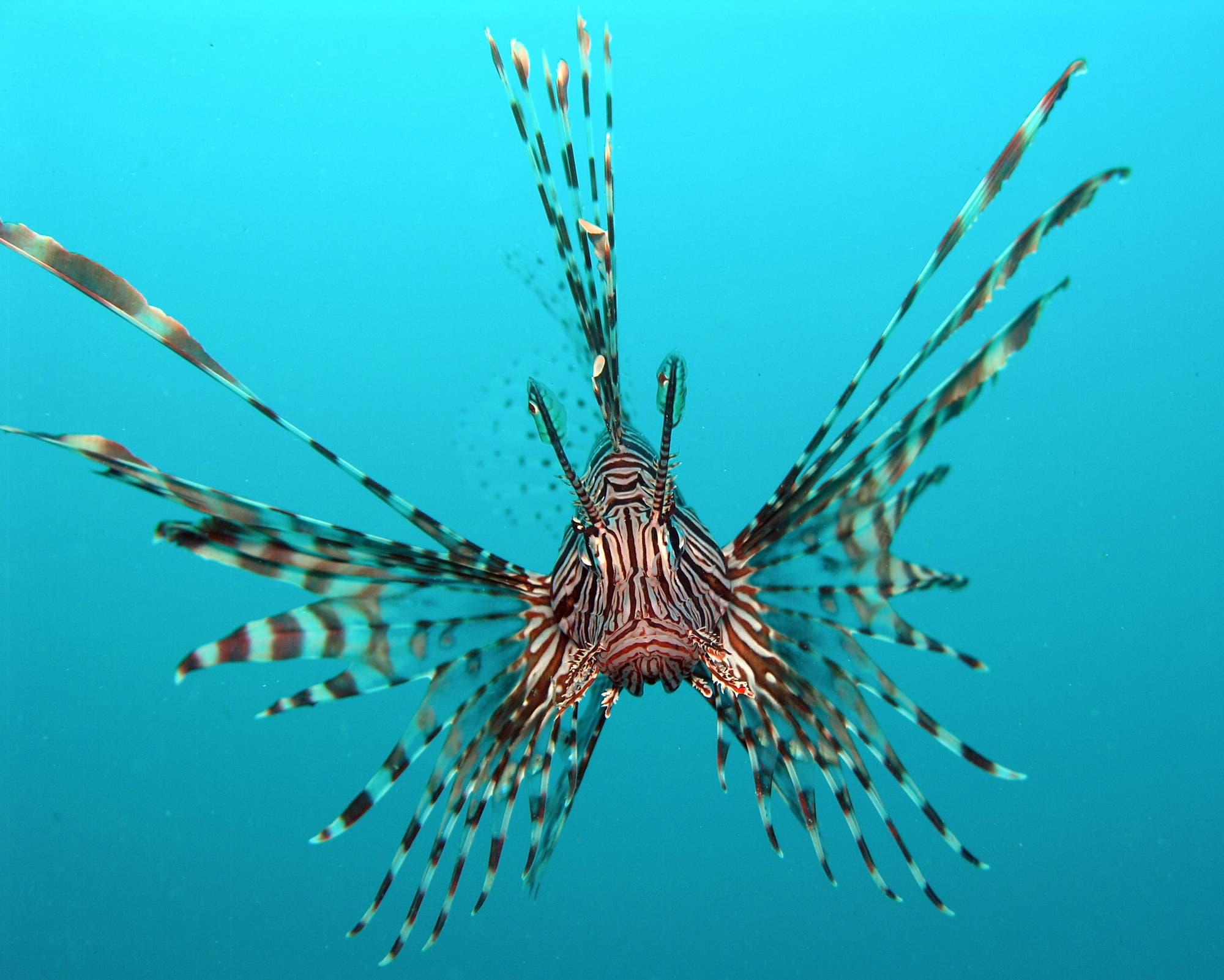 Die Jagd auf die Rotfeuerfische wird durch eine spezielle Verhaltensweise der Tiere erleichtert: Sie schwimmen häufig aus Neugier oder zur Revierverteidigung auf Taucher zu.
