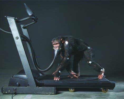 Schimpanse auf allen Vieren