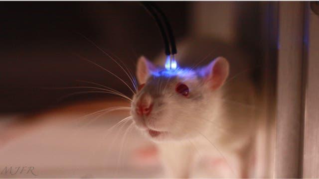 Optogenetisch manipulierte Ratte