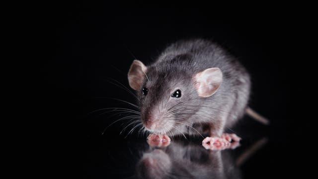 Ein schnüffelnde Ratte vor schwarzem Hintergrund