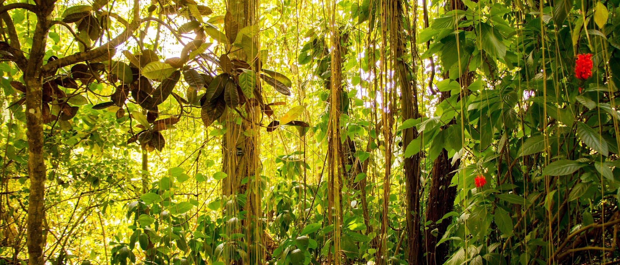 Lianen im Regenwald