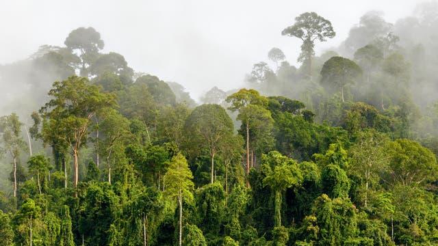 Regenwald im Nebel an der Grenze Malaysia-Kalimantan