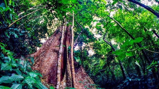 Urwaldriese ragt vom Waldgrund empor