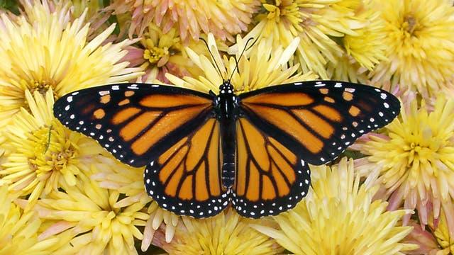 Monarchfalter <em>(Danaus plexippus)</em>