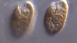 <i>Rhodomonas salina</i>