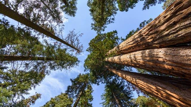 Riesenmammutbäume
