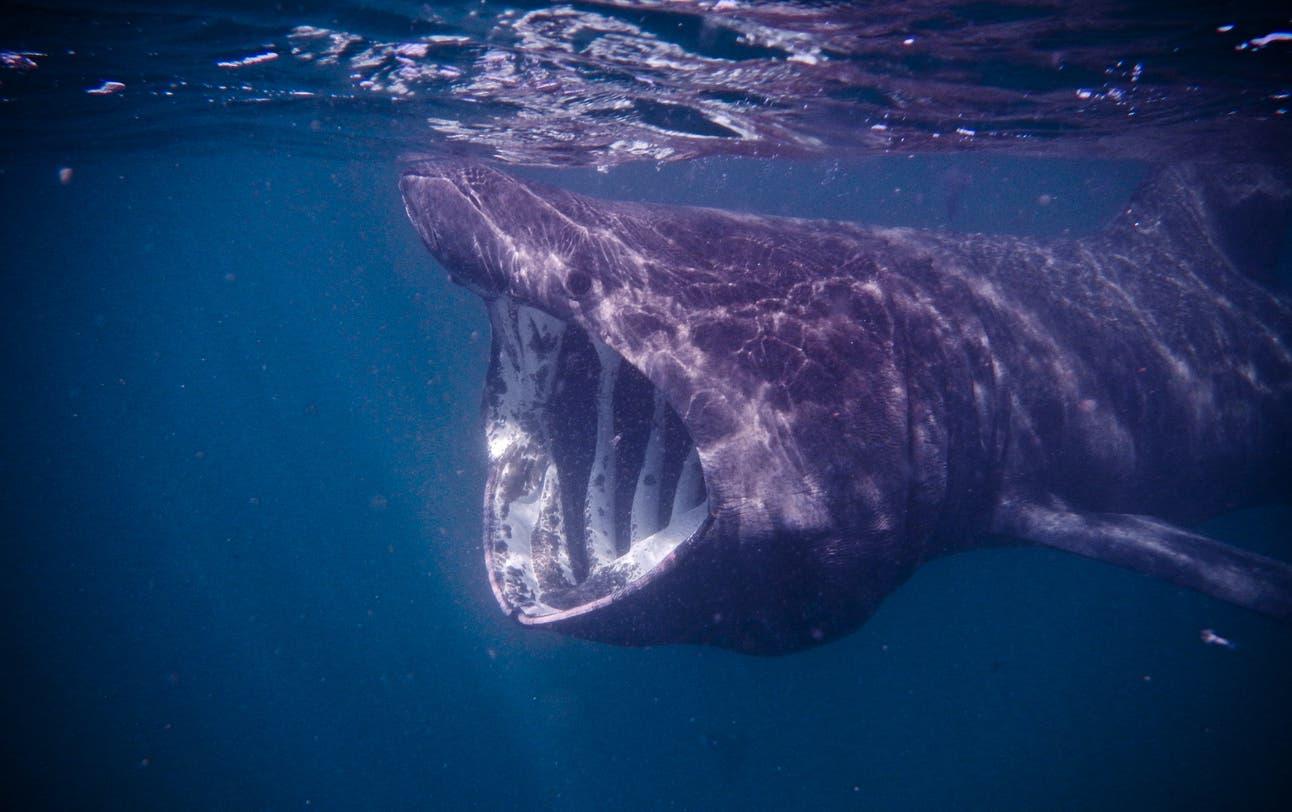 Riesenhaie – sie springen auch mal aus dem Meer
