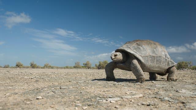 Riesenschildkröte von Aldabra