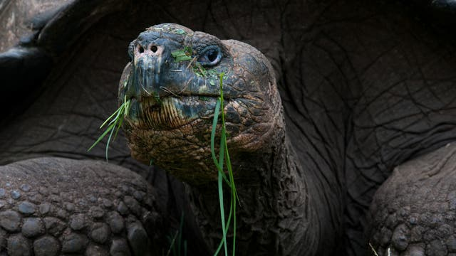 Eine Riesenschildkröte bei der Mahlzeit