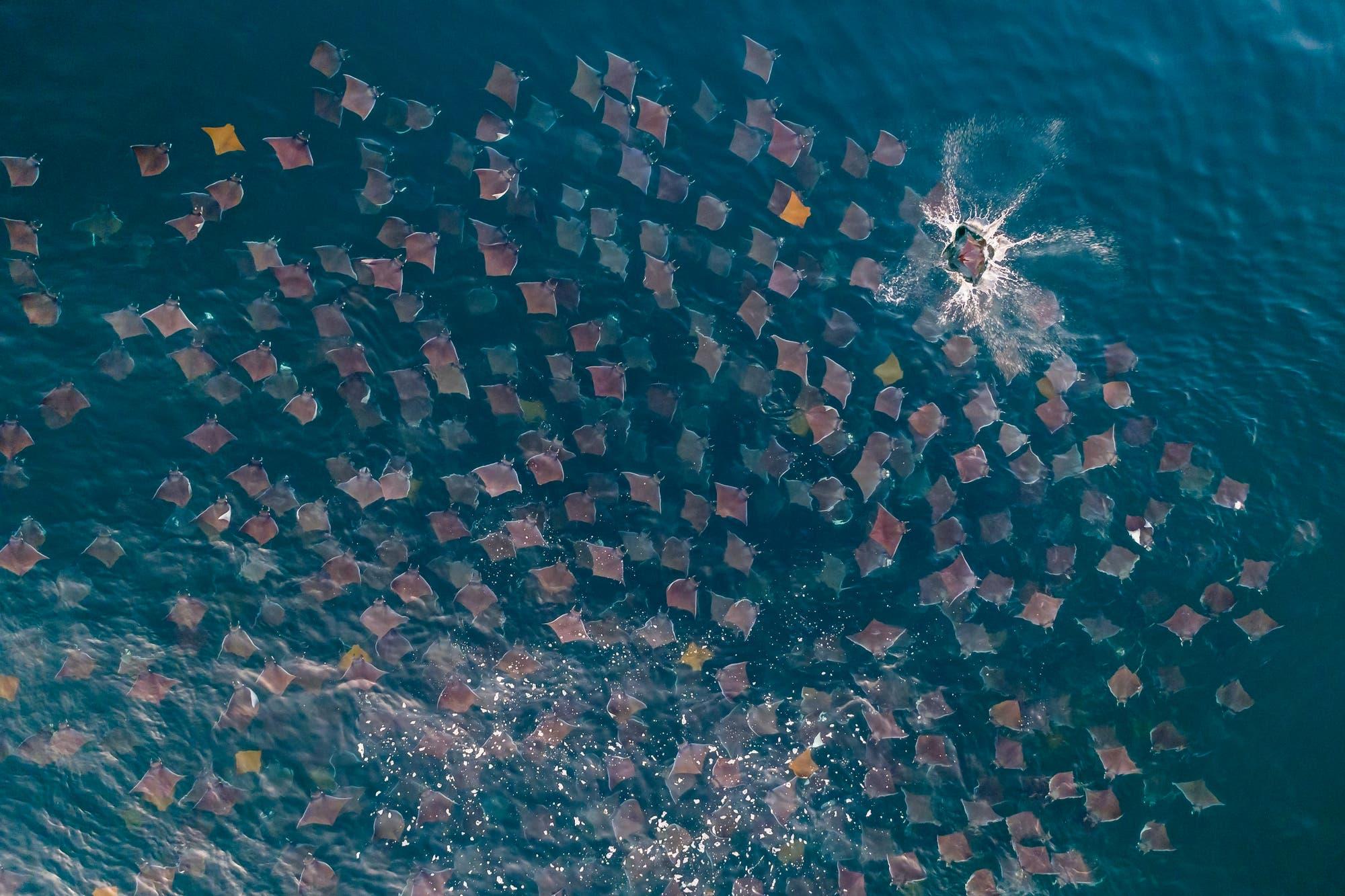 Kuhnasenrochen – goldene Segel im Meer