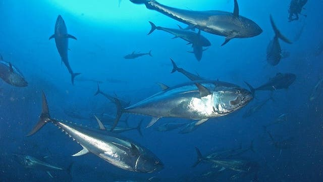 Roter Tunfisch