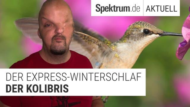 Warum Kolibris auch beim Schlafen extra schnell sind