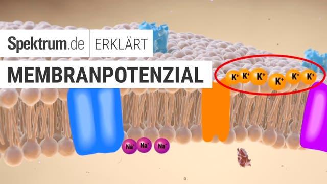 Spektrum erklärt: Membranpotenzial